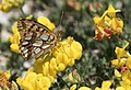 Issoria lathonia - Queen of Spain Fritillary, Sivas 2017-07-02 01-3.jpg