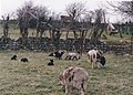 Jacob Ewes and Lambs at Brynllan Farm - geograph.org.uk - 1730940.jpg