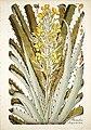 Jacquin Bromelia chrysantha 1797.jpg