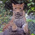 Jaguar (6967809409).jpg
