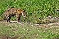 Jaguars (Panthera onca) after fight ...(Female left) (29069437402).jpg