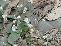 Jamides celeno (Common Cerulean) (3013591518).jpg