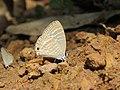 Jamides celeno - Common Cerulean mud puddling at Peravoor (9).jpg