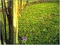January Frost Botanic Garden Freiburg First Safran Crocus - Master Botany Photography 2014 - panoramio.jpg