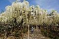 Japanese wisteria, Ashikaga Flower Park 6.jpg