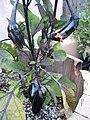 Japaneseeggplant.jpg