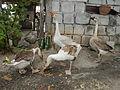 Jf2992Domesticated White ducks Philippinefvf 03.JPG