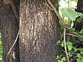 Jidichettu (Telugu- జీడిచెట్టు) (3690341911).jpg