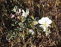 Joshua Tree National Park flowers - Oenothera deltoides - 7.JPG