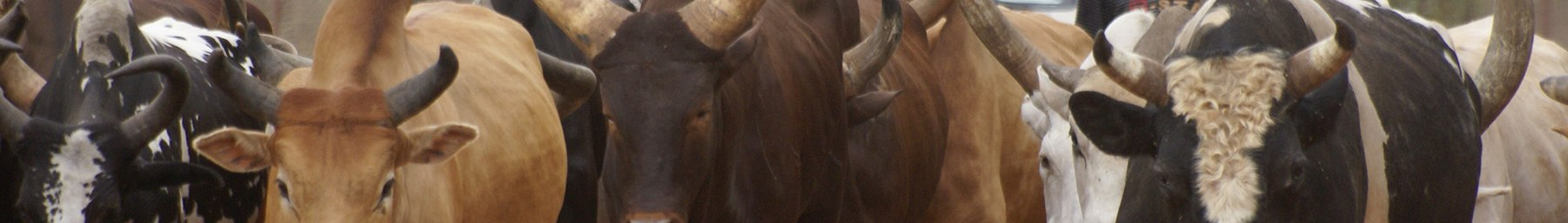 Juba (South Sudan) banner Cattle of the Dinka people.jpg