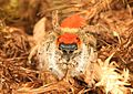 Jumping Spider - Phidippus whitmani, Prince William Forest Park, Triangle, Virginia.jpg
