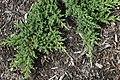 Juniperus procumbens Nana 2zz.jpg
