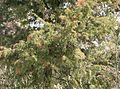 Juniperus rigida3.jpg