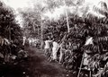 KITLV - 78528 - Kurkdjian - Sourabaia-Java - Women picking at a coffee plantation, probably in Java - circa 1915.tif