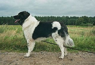 Karakachan dog Dog breed
