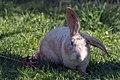 Kattesele på kanin.jpg