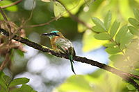 Keel-billed Motmot 2496248190