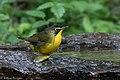 Kentucky Warbler (male) Fall Out 2 Sabine Woods TX 2018-04-09 14-16-39 (41466461002).jpg