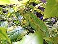 Kenya Chameleon.jpg