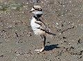 Killdeer chick on Sherwood Island (72077).jpg