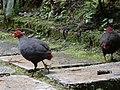Kinabalu Park, Ranau, Sabah, Malaysia - panoramio (23).jpg