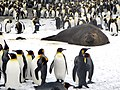King Penguins and Elephant Seal (15993820981).jpg