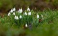 Kleines Schneeglöckchen Galanthus nivalis.jpg