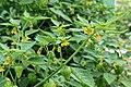 Kluse - Physalis philadelphica - Tomatillo 02 ies.jpg