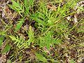 Knautia arvensis20140704 173.jpg