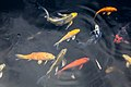 Koi (Cyprinus carpio) at Jacksonville Zoo (3).jpg