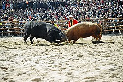 The Cheongdo county is famous for the annual bullfighting festival