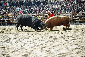 Cheongdo County - The Cheongdo county is famous for the annual bullfighting festival