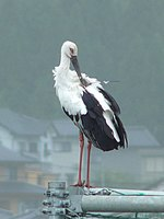 A black and white stork with red legs and a black beak.