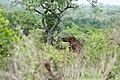 Kruger Park, Giraffe - panoramio.jpg