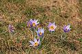 Kvetoucí koniklece v PP Kobylinec 16.jpg
