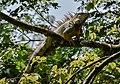L'Iguane vert (Iguana iguana).jpg