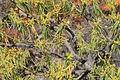 La Palma - El Paso - LP-2 - Euphorbia regis-jubae 01 ies.jpg
