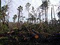 La forêt des Landes après le passage de la tempête Klaus.jpg