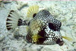 Smooth trunkfish Species of fish