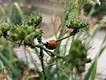 Ladybug5.jpg