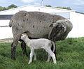 Lamb P8160028.JPG