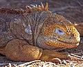 Land Iguana (Conolophus subcristatus) - (16472618767).jpg