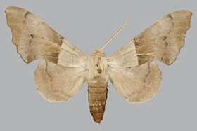 Laothoe philerema philerema BMNHE813697 male up.jpg