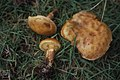 Larch bolete, Boletus suaveolesis grevillii (determiner Perry not in book), Glyn near Torpantau, 10 October 1982 (30986267686).jpg