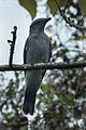 Large Cuckoo-Shrike - Taiwan S4E9508 (16840403088).jpg