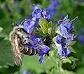Lasioglossum or Halictus species - Flickr - gailhampshire.jpg