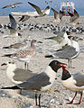 Laughing Gull From The Crossley ID Guide Eastern Birds.jpg