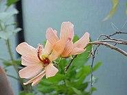 Lavatera phoenicea1