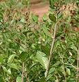 Lawsonia inermis (Mehndi) in Hyderabad, AP W IMG 0528.jpg