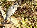 Le heron sur son arbre perché.jpg